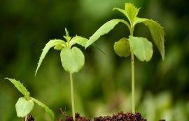 Стимуляторы иммунитета растений «ОберегЪ» и «Проросток»